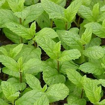 200Pcs Spearmint Herb Seeds Mentha Spicata Seed Aromatic Plant - $19.27
