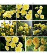 Mehrjährige Kletterrose Samen Blumensamen Multiflora Pflanzensamen AACH - $2.93