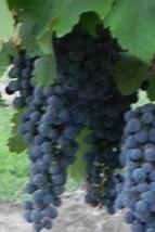 Cabernet Sauvignon Red Wine Grape Vine 3 gallon Live Plant Home Garden Easy grow - $54.40