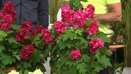 RUBY SLIPPERS Oakleaf  Hydrangea shrub image 7