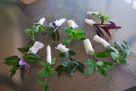Lot of 3 Wandering Jew Tradescantia - Many Varieties Types - $31.47
