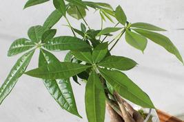 Indoor Outdoor Bonsai Money Tree Plant Pachira Fluffy Elephant Ceramic 4Pot - $82.00