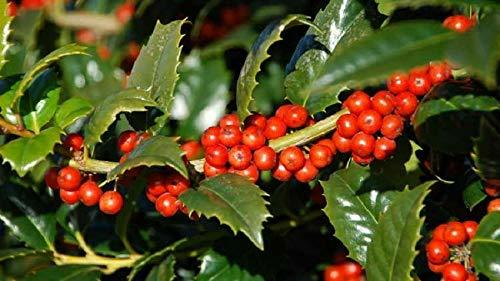 Primary image for 1 Starter Plant Ilex x Mary Nell Holly