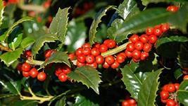 1 Starter Plant Ilex x Mary Nell Holly - $24.74