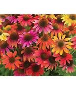 200pcs Warm Summer Echinacea Mixed Coneflower Seeds very Graceful - $16.96