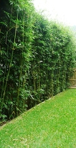 """10 Plants / Divisions for 50 Ft Bamboo Hedge-Bambusa """"Green Hedge"""" Clump... - $225.00"""