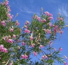 4 Variety Tree Fresh Seeds Desert Willow Chilopsis linearis #SMA1 - $14.99+