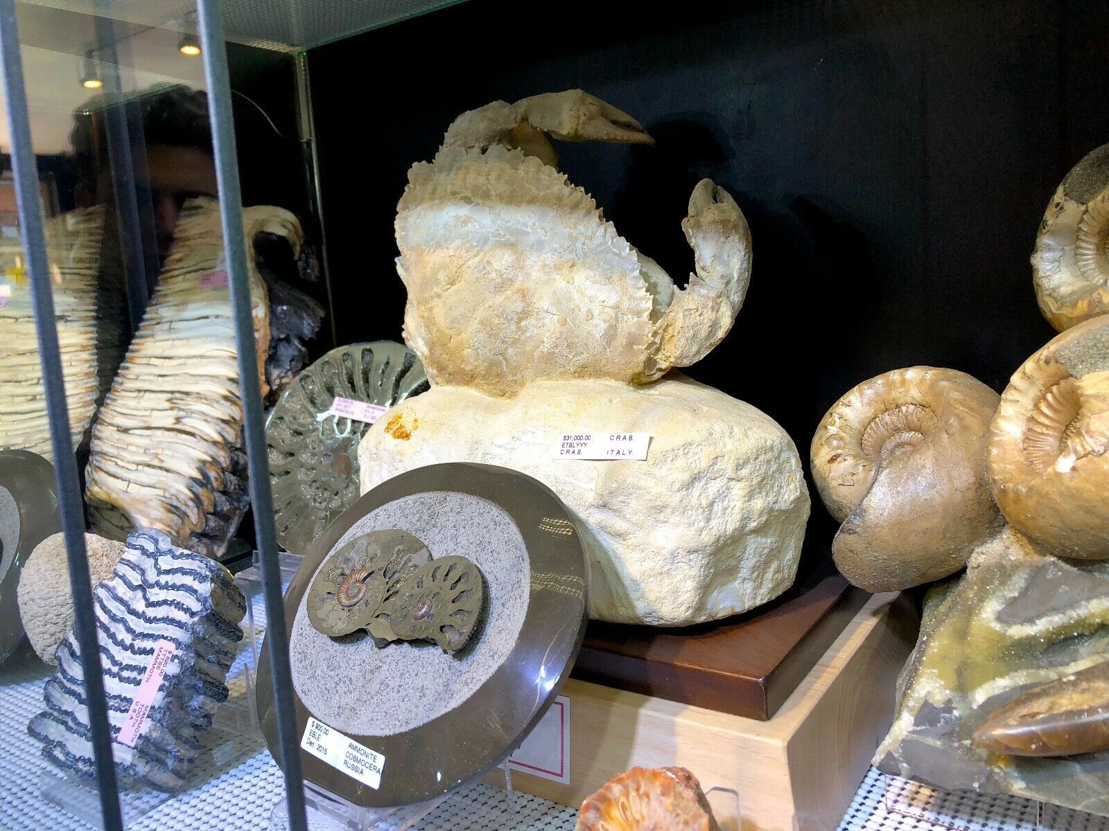 FOSSILIZED CRAB ITALY HOME DISPLAY DINOSAUR FOSSIL PIRATE GOLD COINS JURASSIC