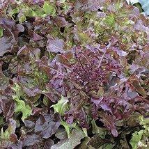 1000 Seeds of Salad Bowl Red - Leaf Lettuce Good Keeper - $16.83