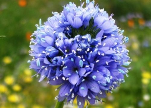 Primary image for SHIPPED From US, GLOBE GILIA SEEDS BLUE 100 FRESH SEEDS*FREE SHIPPING-SPM