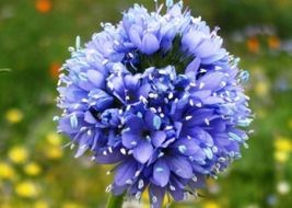 SHIPPED From US, GLOBE GILIA SEEDS BLUE 100 FRESH SEEDS*FREE SHIPPING-SPM - $16.99