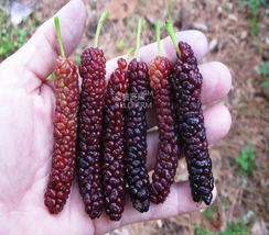 50pcs Big Long Mulberry Fruit Tree, Dark Red Very Tasty Edible Fruits IMA1 - $13.99