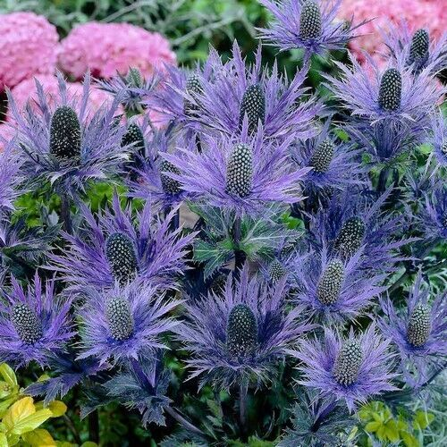 Primary image for SHIP FROM US 20 Alpine Sea Holly Flower Seeds (Eryngium Alpinum Superbum), UTS04