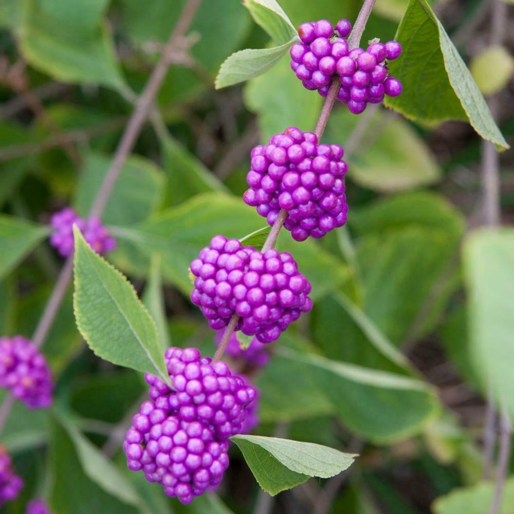 American Beauty Berry shrub qt. pot