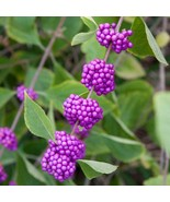 American Beauty Berry shrub qt. pot - $9.95