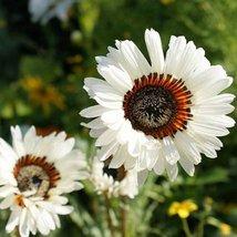 32 Seeds Venidium Seeds, White Monarch of The Veldt, - $13.72