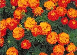 75 Seeds French Marigold Sparky Mix, DIY Decorative Plant Seeds SPM02 - $6.99