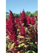 50 Seeds of Purple Fountain Giant Amaranth Amaranthus - $11.74