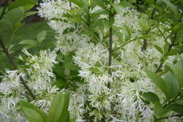 Ship From Us 3 Seeds Fringe Tree Chionanthus Old Man's Beard White Flower SBR4 - $11.99