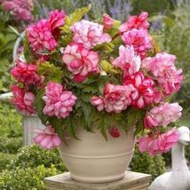 Begonia PINK Balcony (2 Bulbs) Fragrant blosssoms from summer to frost - $19.89