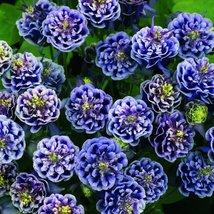 50 seeds iImported Rare Double 'Twinkle' Dark Blue White Garden Columbin... - $10.96