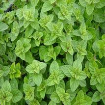 200Pcs Oregano Italian Herb Seeds Origanum Vulgare Seed Aromatic Plant - $19.27