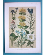 BOTANICAL PRINT 1896 Color Litho - Morning Glory Yellow Gentian Bogbean - $13.77