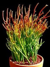 Organic - 5 Succulent Cuttings - Pencil Cactus, Firesticks - Also Known As Eupho - $13.86