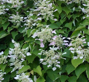 Primary image for 25 Schizophragma hydrangeoides Vine Seeds - Climbing Hydrangea