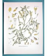 SWETT CLOVER Medicinal Melilotus Officinalis - Beautiful COLOR Botanical... - $13.77
