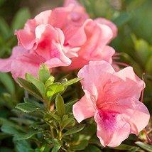 1 Starter plant of Autumn Coral Encore Azalea - $149.49