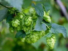 Common Hops Seeds. 250 seeds, or 1 g - $13.98
