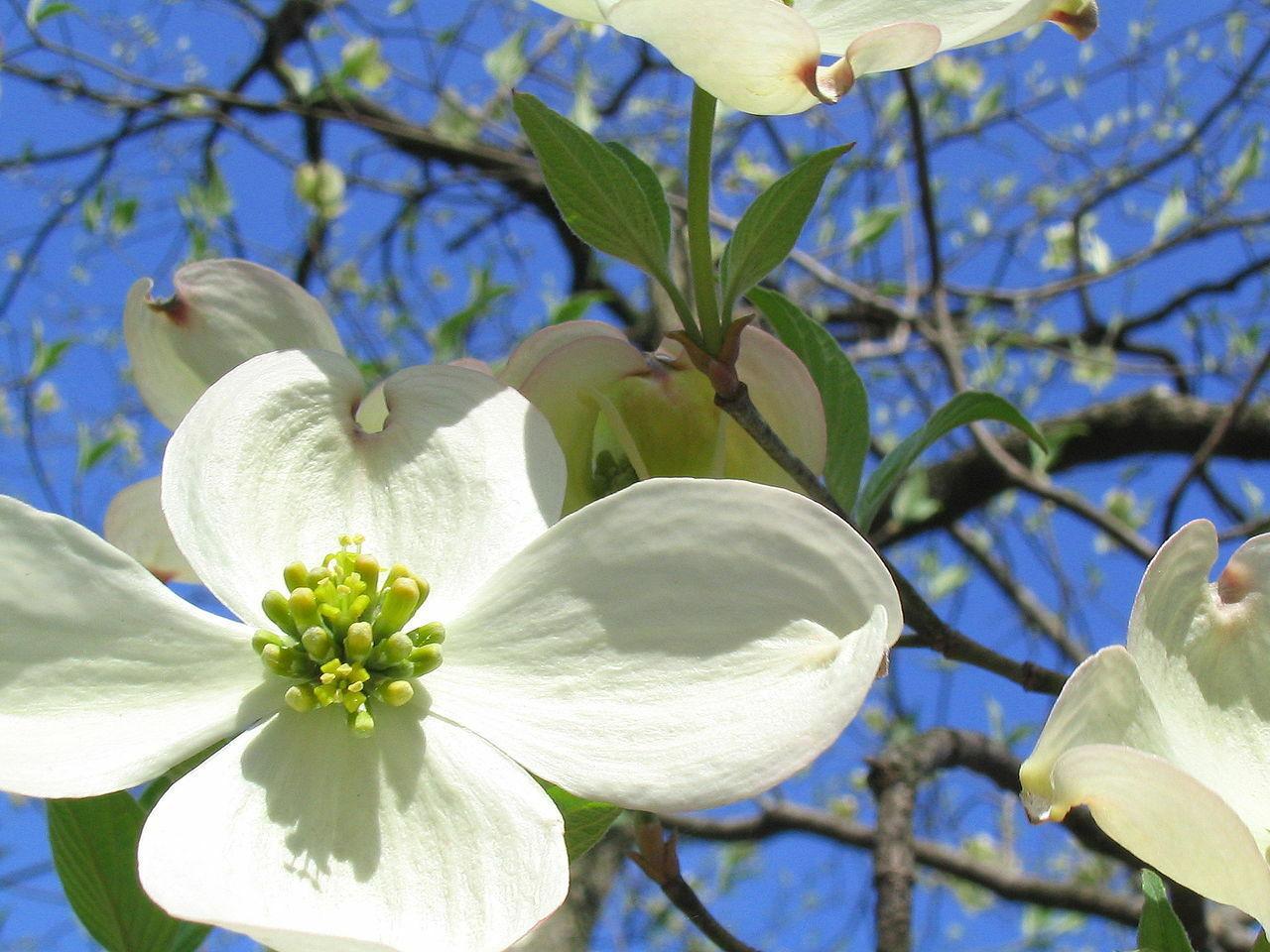10 Tree Seeds - White Flowering Dogwood Cornus Florida Tree Seeds #TSP - $16.99