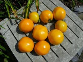 Tomato - Golden Jubilee - Non-Hybrid - Non-GMO - St Clare Heirloom Seeds - $2.25