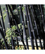 100Pcs Phyllostachys Pubescens Moso Bamboo Seeds Planting Perennial Home... - $2.12