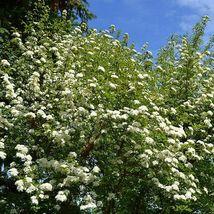 Blackhaw Viburnum (Viburnum prunifolium) image 5