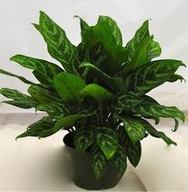"MARY ANN Aglaonema Chinese Evergreen Tropical Houseplant SUPER LARGE 8"" ... - $119.99"