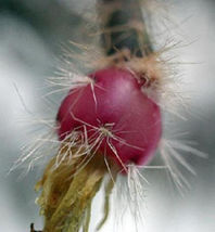Rhipsalis pilocarpa rare epiphyllum hanging mause tail cacti aloe seed 50 SEEDS - $26.00