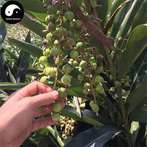 Buy Amomum Villosum Seeds 240pcs Plant Chinese Herb Amomi For Sha Ren - $15.99