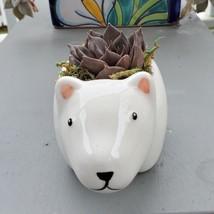 "Black Prince Echeveria Succulent Polar Bear Planter, 5"" white ceramic animal pot image 3"