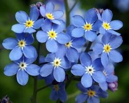 75 Pcs Forget Me Not Seed, Myosotis Sylvatica, Blue Flowers Flower Seed - $13.99