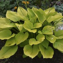 """2.5"""" pot hosta AGE OF GOLD large big upright yellow - 1 Live Potted Plant - $48.99"""