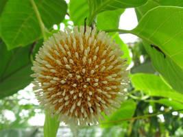 SHIPPED FROM US 200 Neolamarckia Cadamba Burflower Tree Amboina Seeds, BR07 - $27.80