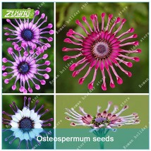 100 Pcs Osteospermum Bonsai Seeds High Germination Rate Cape Daisy Easy To - $4.42