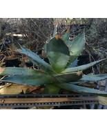 Agave titanota Felipe Otero Big Spine Rosette Succulent Plant 1 - $39.55