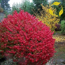CORKED BURNING BUSH Euonymus alatus EVERGREEN 100 seeds - $26.99