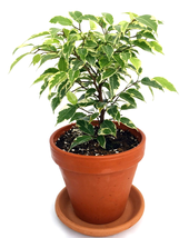"Ficus Live Plant Gardens Starlight Weeping Fig exotic indoor tree in 4"" ... - €28,19 EUR"