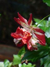 15 Texas Star Red/White Hibiscus Seeds-1140 - $2.98