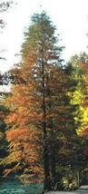 Hardy Bald Cypress Tree seedling live plant - $28.00