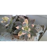 """Ghost Plant aka Graptopetalum Paraguayense Succulent Live Plant Fit 4"""" Pot - $5.93"""